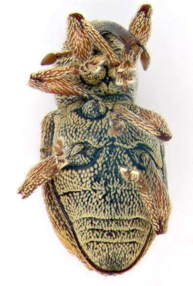 Curculionidae, ventral - Smicronyx compar