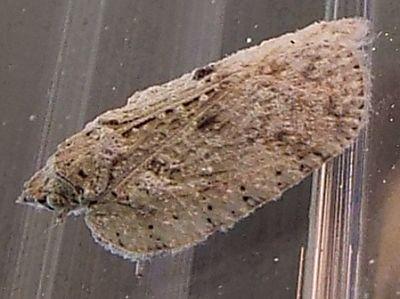 planthopper - Flatoidinus punctatus