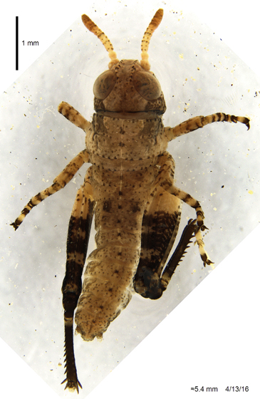 Acrididae 2 - Conozoa nicola