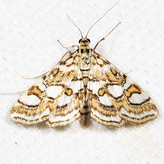 Nymphula Moth - Hodges#4747 - Elophila ekthlipsis