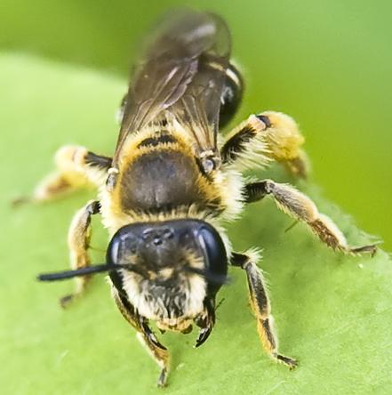 very small bee - Andrena wilkella
