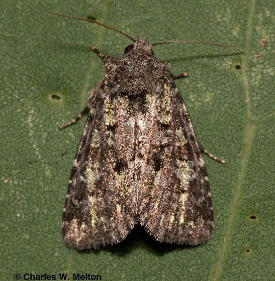 Moth - Paramiana smaragdina