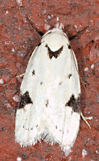 Moth to porch light - Inga sparsiciliella