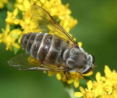 Tabanid - Stonemyia rasa - female