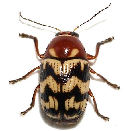 Cryptocephalus triundulatus