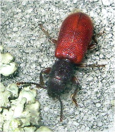 Beetle - Zenodosus sanguineus