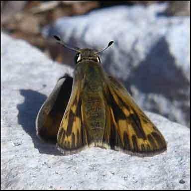 Skipper - Hylephila phyleus