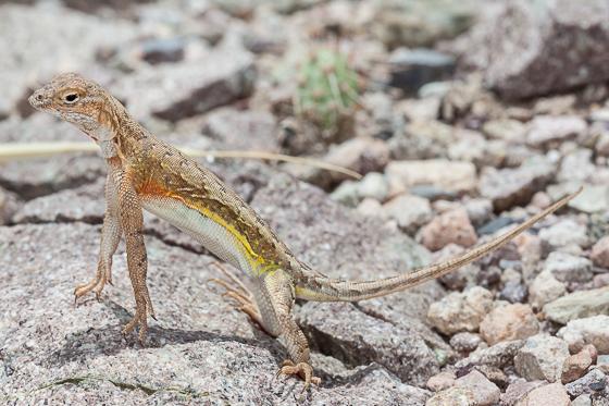 Elegant Earless Lizard (Holbrookia elegans) - female