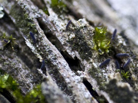 Blue Springtails - Vertagopus arboreus