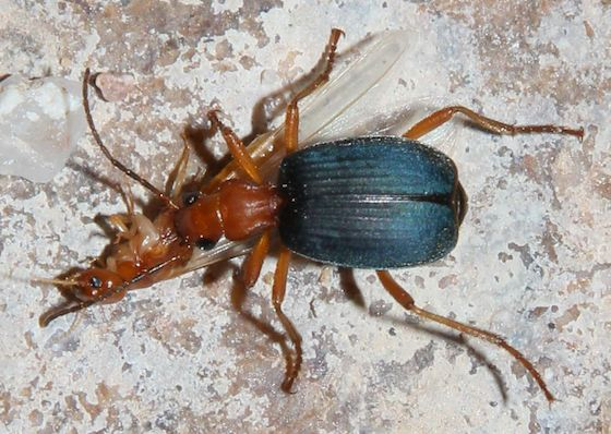 Nocturnal beetle hunting termites - Brachinus favicollis