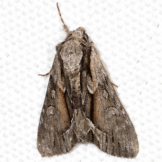 Common Hyppa - Hodges#9578 - Hyppa xylinoides