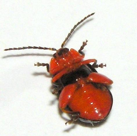 Leaf Beetle 1 - Asphaera lustrans