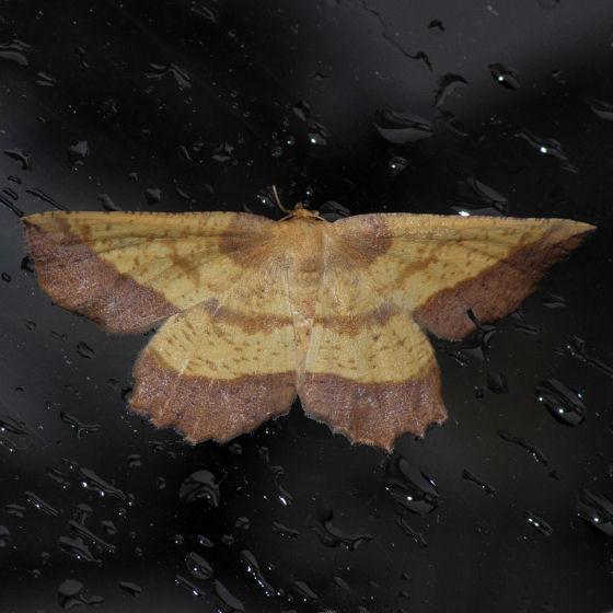 6724  The Saw-Wing Moth - Euchlaena serrata