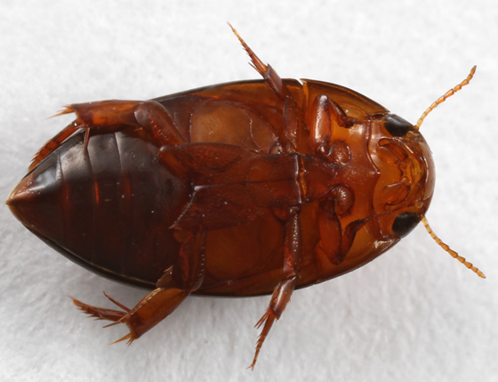 noterid? - Hydrocanthus