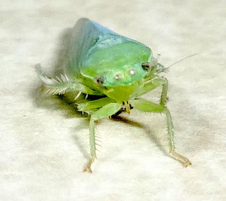 Green Hopper - Gyponana