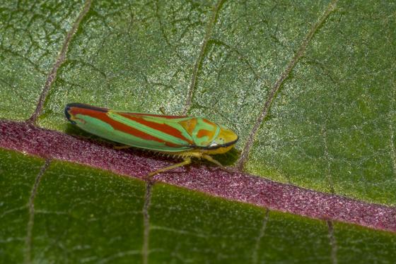 Red, Green and Gold Bug - Graphocephala teliformis