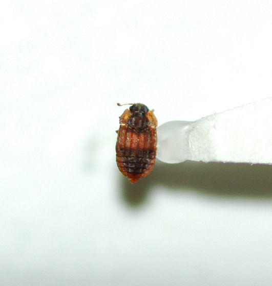 Staphylinidae Micropeplus tesserula - Micropeplus tesserula