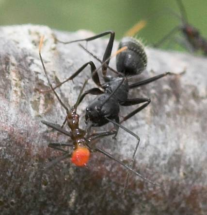 Nymph predation (Cannibalism and Ant) - Arilus cristatus