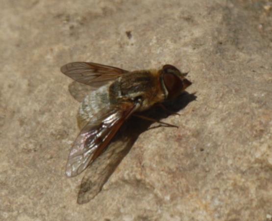 Bee Fly - Paravilla californica