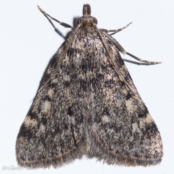 Large Tabby Moth - Aglossa pinguinalis - male