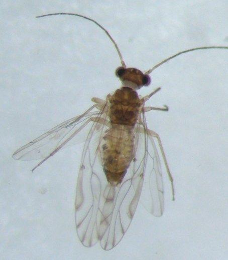 Psocid 01 - Lachesilla nubilis