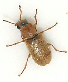 2mm beetle - Trichochrous ferrugineus