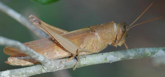 Grasshopper - Schistocerca alutacea - female