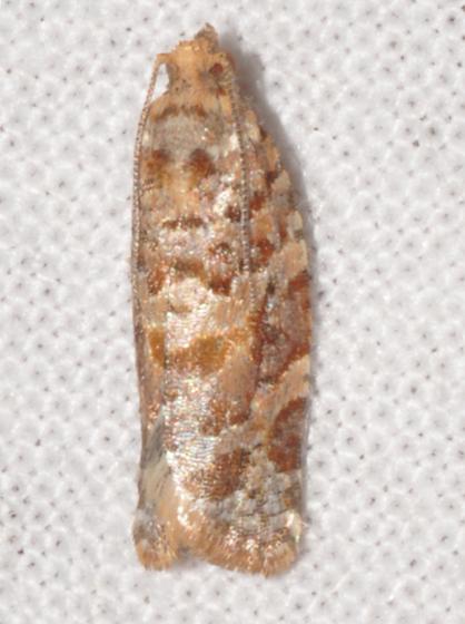 Lodgepole needletier - Argyrotaenia tabulana