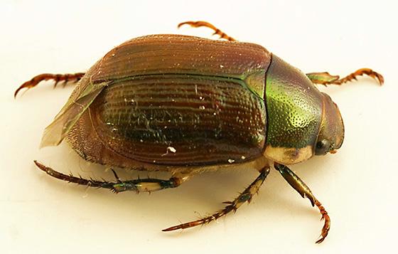 ID ? - Callistethus marginatus