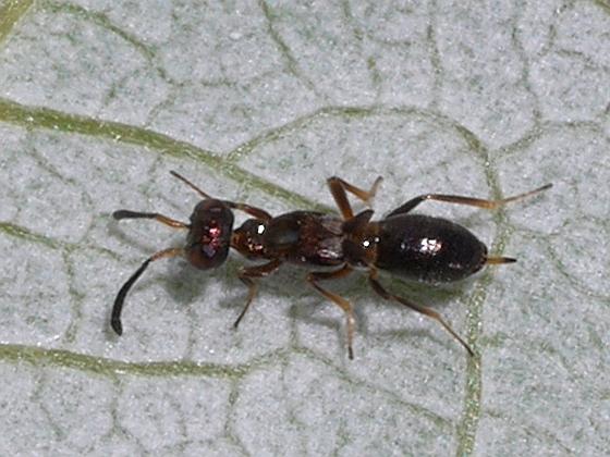 wasp - Eupelmus messene - female