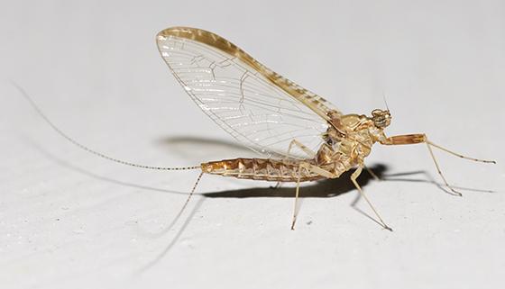 Small Minnow Mayfly - Cloeon dipterum - female
