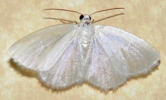 White Spring Moth - Hodges#6667 - Lomographa vestaliata