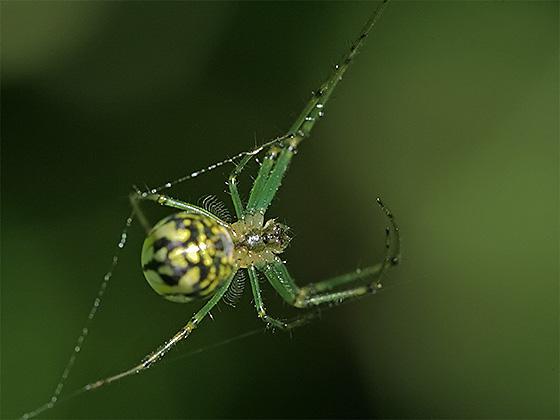 Venusta Orchard Spider - Leucauge venusta - female