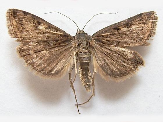 Webworm Moth - Loxostege commixtalis
