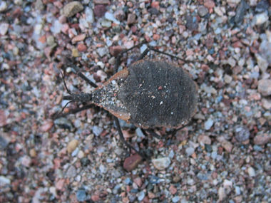 Blood Sucking bug ID help needed! - Triatoma