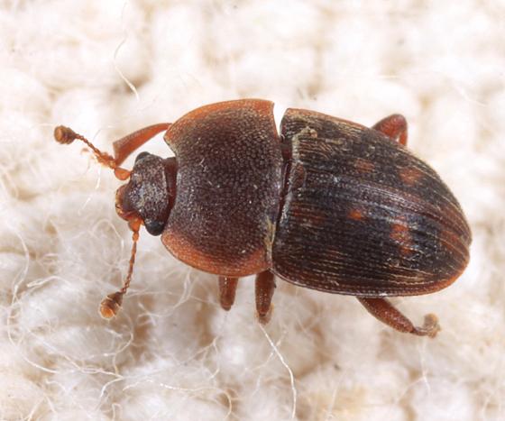Stelidota octomaculata? - Stelidota octomaculata