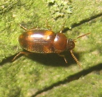 Beetle - Alphitophagus bifasciatus