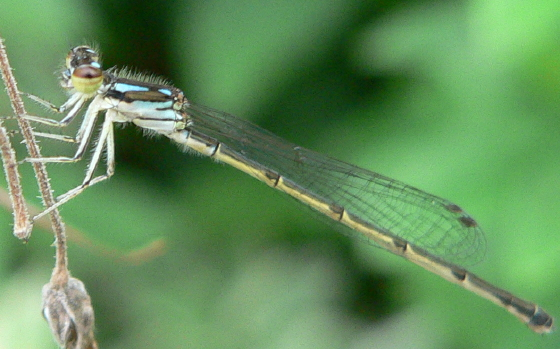 Fragile Forktail - Ischnura posita - female