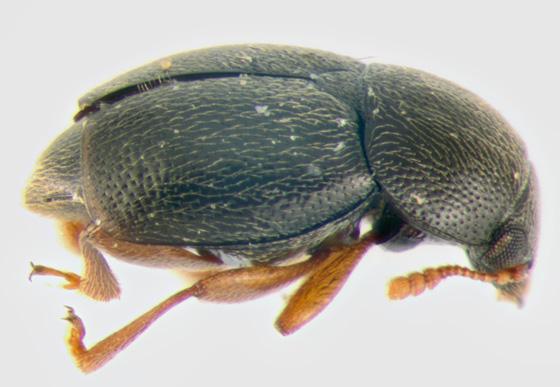 Kateretidae, lateral - Brachypterus urticae