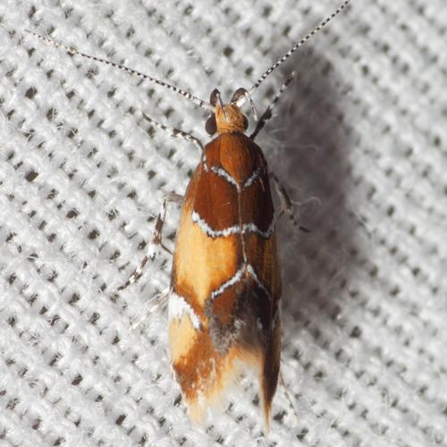 Orange-headed Epicallima Moth   #1046 - Epicallima argenticinctella