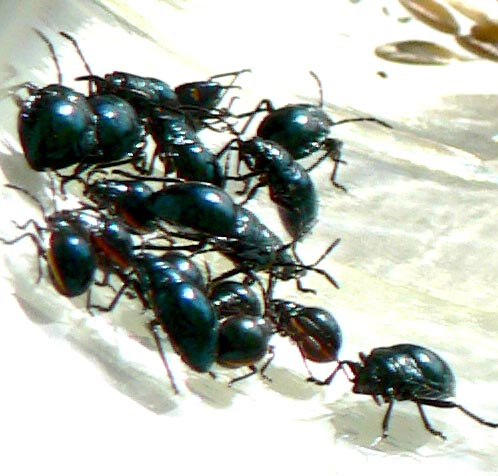 ImageSpace - Black Iridescent Beetle | gmispace com