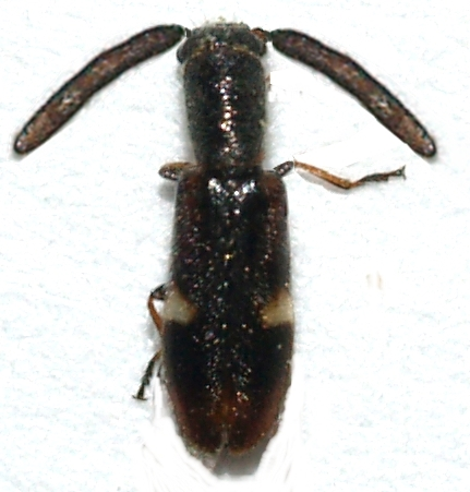This is probably a male of Monophylla californica - Monophylla californica
