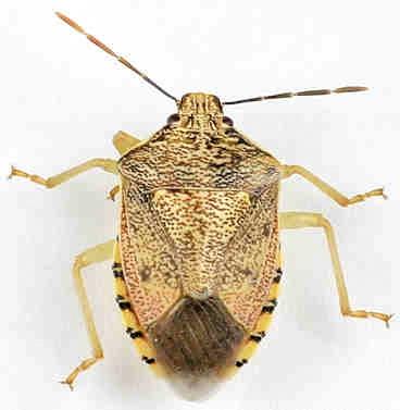 Pentatomidae - Banasa? - Podisus placidus