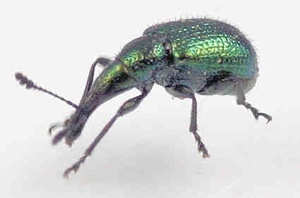 Weevil - Haplorhynchites eximius