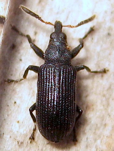 Black and brown beetle - Magdalis barbicornis - male