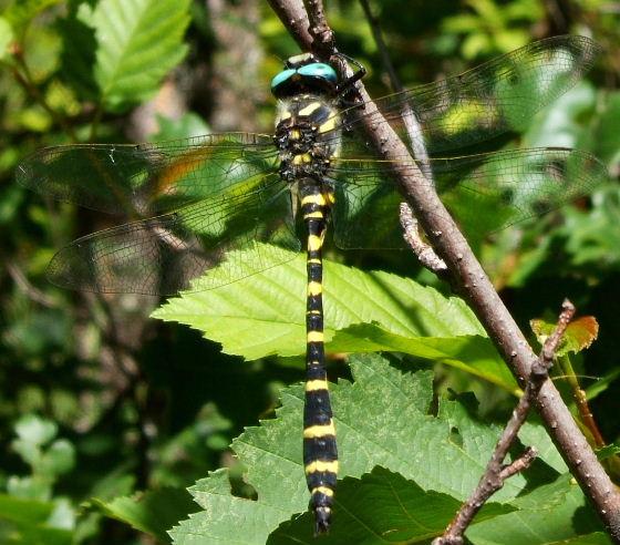 Apache Spiketail - Cordulegaster diadema