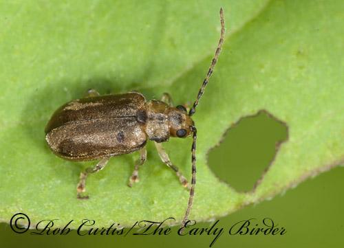 8033198 leaf beetle - Pyrrhalta viburni
