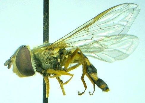 Syrphid - Eupeodes - female