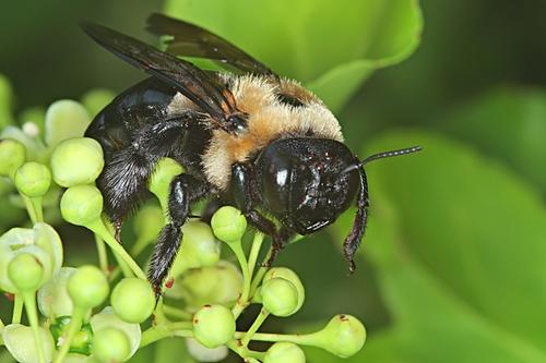 Large Bee?  - Xylocopa virginica - female