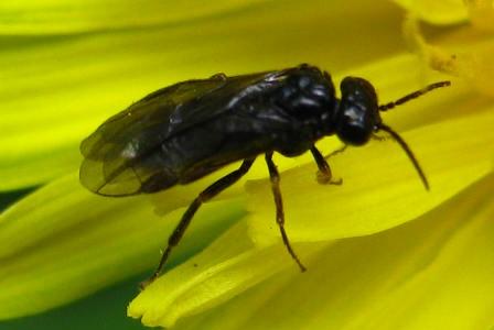 Small Black Sawfly or Wasp - Fenusa